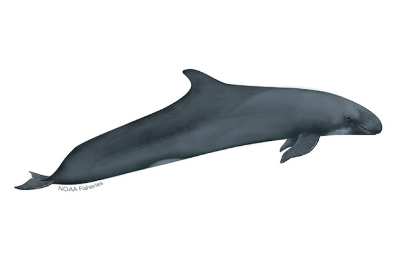 640x427-false-killer-whale.png