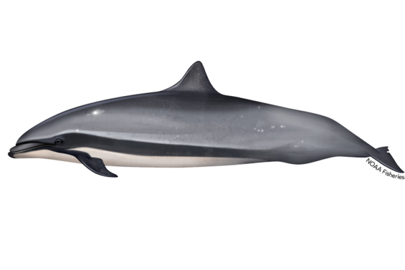 640x427-frasers-dolphin.png