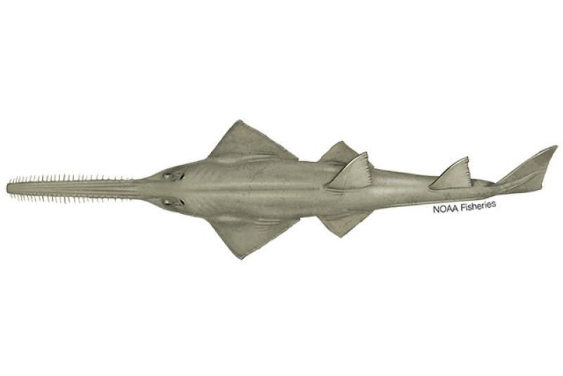 640x427-Green-Sawfish.jpg