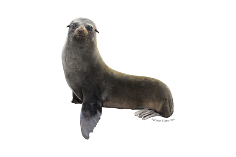 640x427-guadalupe-fur-seal.png