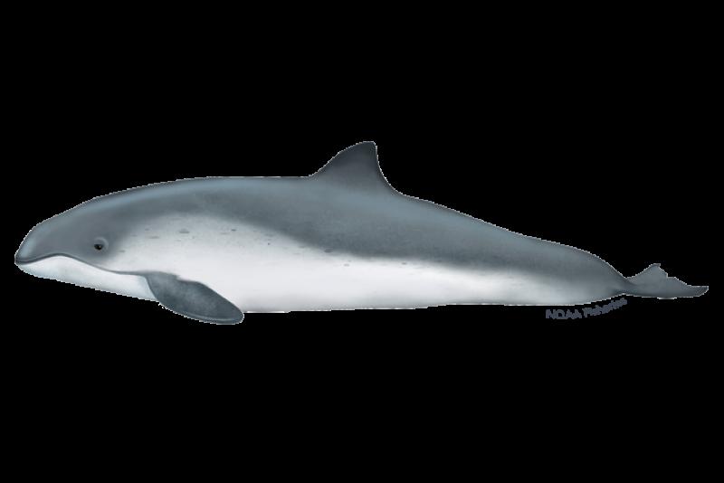 640x427-harbor-porpoise.png