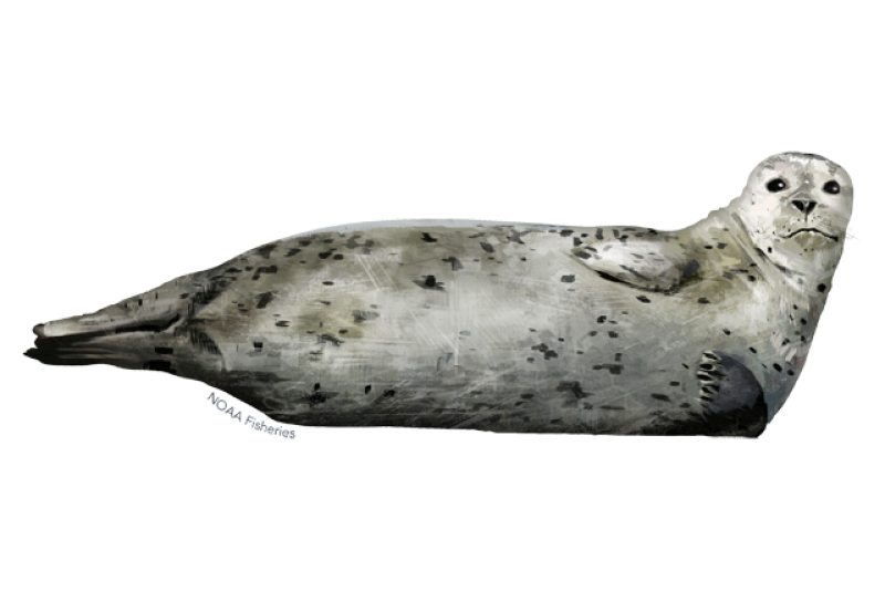 640x427-harbor-seal.png