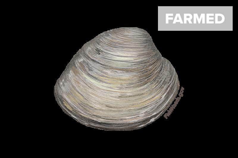 640x427-hard-clam-northern-quahog.png