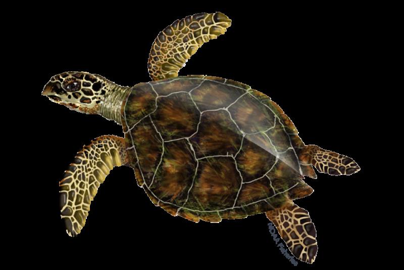 640x427-hawksbill-turtle.png