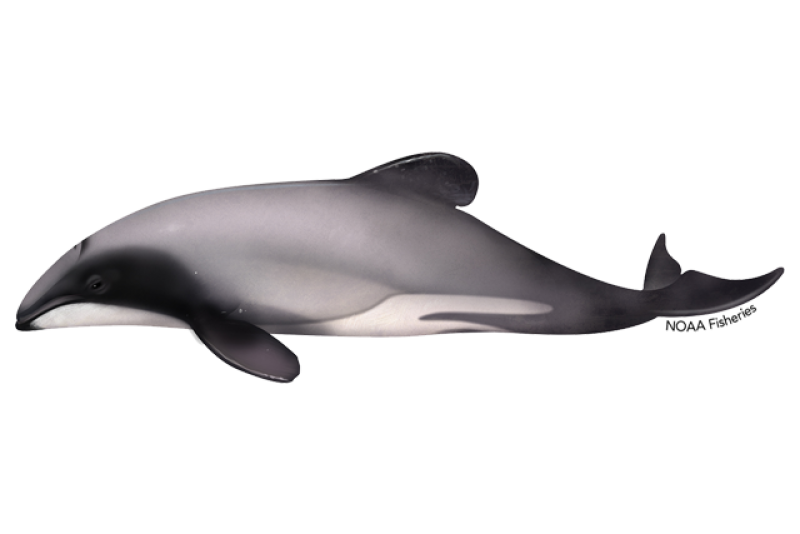 640x427-hectors-dolphin.png