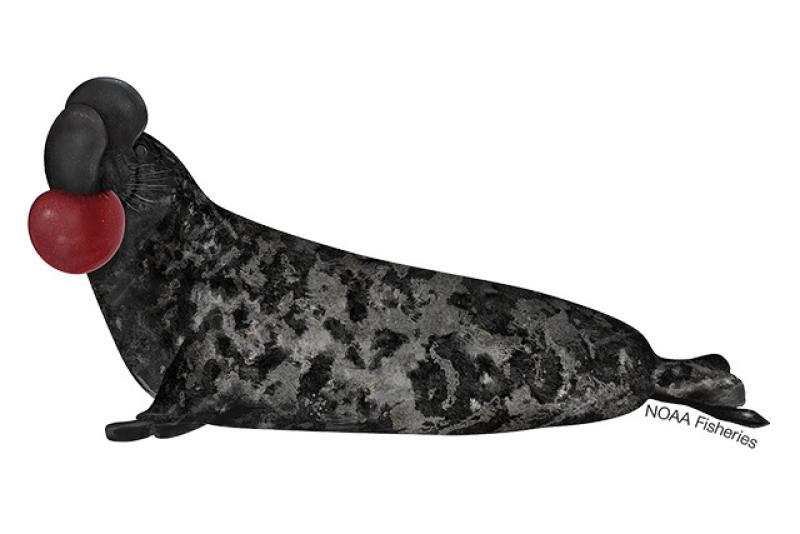 640x427-Hooded-Seal.jpg