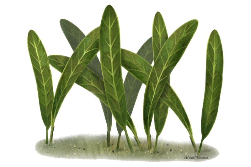 640x427-johnsons-seagrass.png