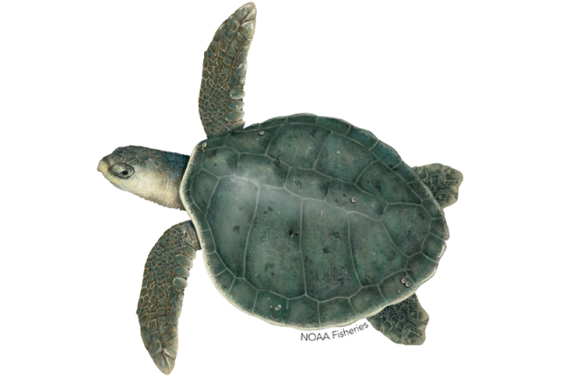 640x427-kemps-ridley-turtle.png