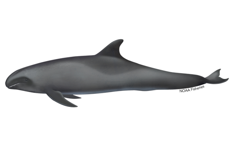 640x427-melon-headed-whale.png