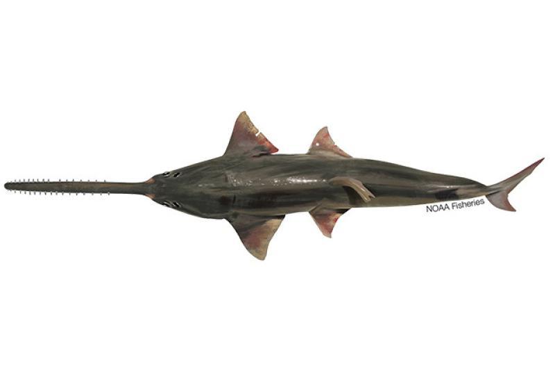 640x427-Narrow-Sawfish.jpg