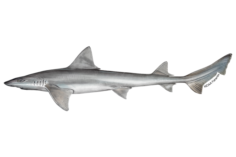 640x427-narrownose-smoothhound-shark.png