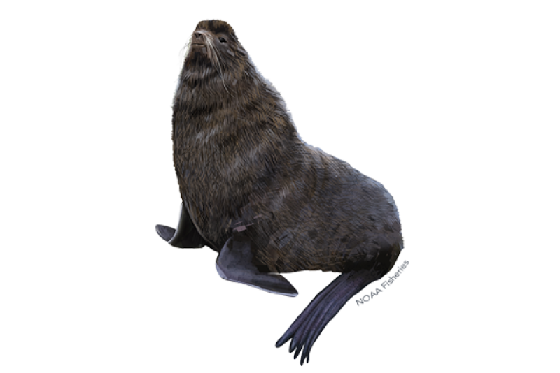 640x427-northern-fur-seal.png