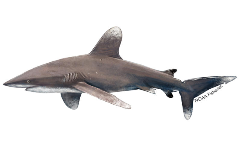 640x427-oceanic-whitetip-shark.png
