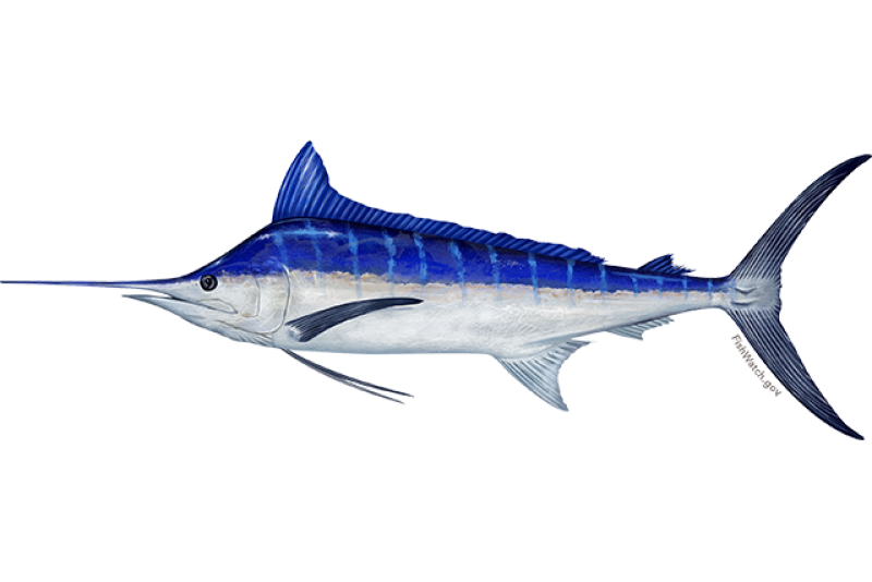 640x427-pacific-blue-marlin.png