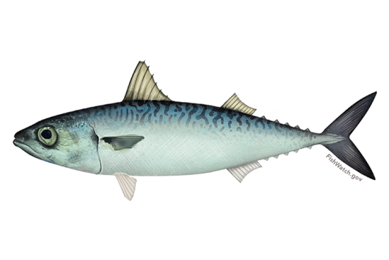 640x427-pacific-mackerel.png