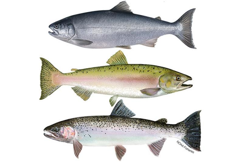 Drawings of three types of salmon