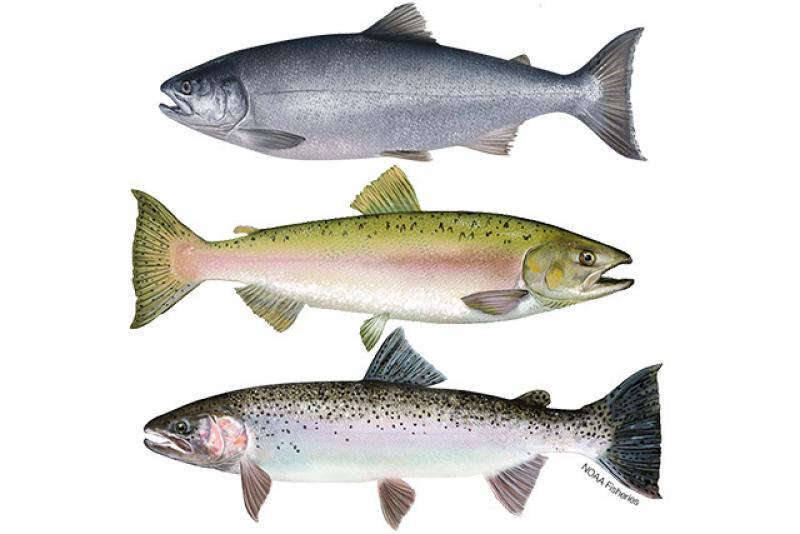 640x427-pacific-salmon-and-steelhead.jpg