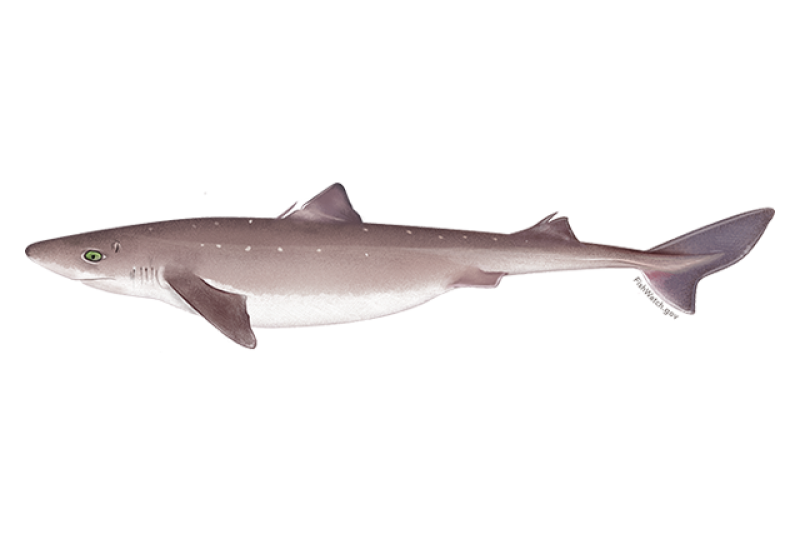 640x427-pacific-spiny-dogfish.png