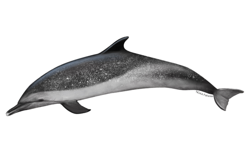 640x427-pantropical-spotted-dolphin.png
