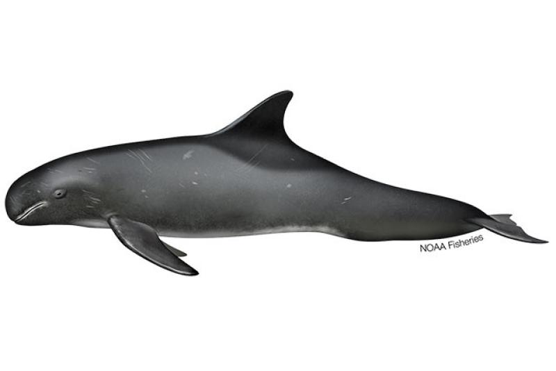 Profile drawing of Pygmy Killer Whale