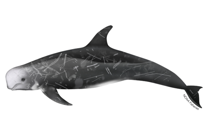 640x427-rissos-dolphin.png