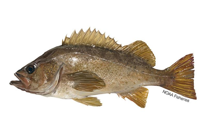 640x427-Rockfish_Yellowtail_NB_W.jpg