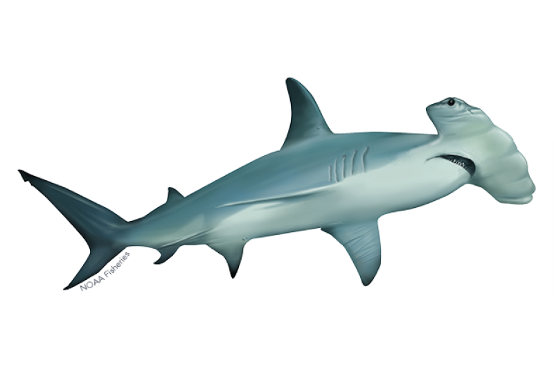 640x427-scalloped-hammerhead.png