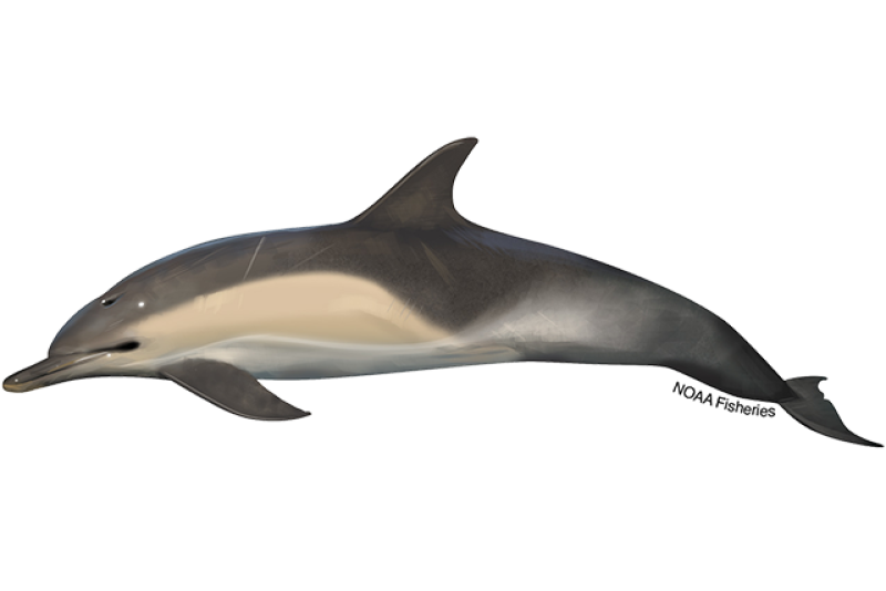 640x427-short-beaked-common-dolphin.png