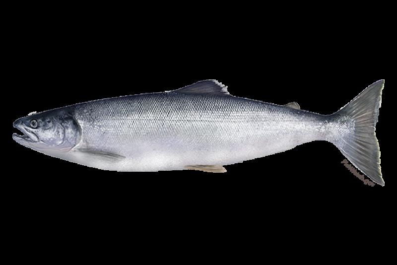 640x427-sockeye-salmon.png