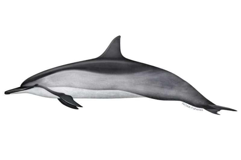 640x427-spinner-dolphin.png