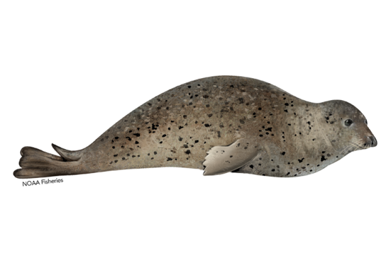 640x427-spotted-seal.png