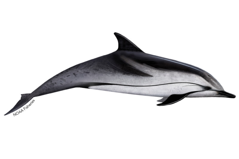 640x427-striped-dolphin.png