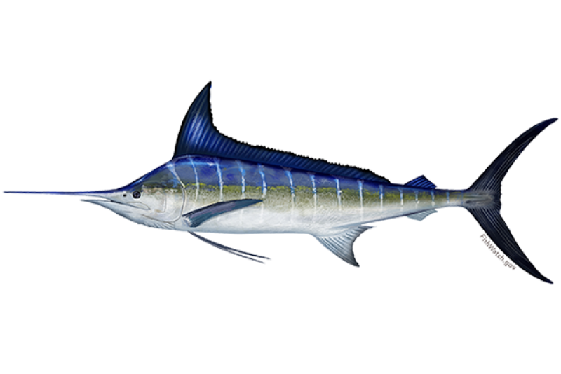 640x427-striped-marlin.png
