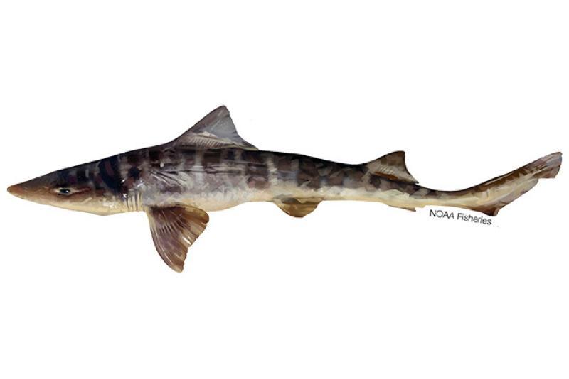 640x427-striped-smoothhound-shark.jpg