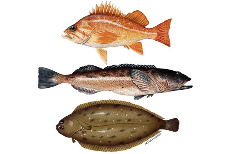 Illustration of West Coast groundfish species canary rockfish, lingcod, and Dover sole. Credit: Jack Hornady.