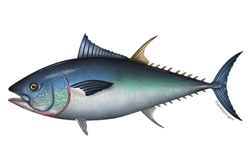 640x427-western-atlantic-bluefin-tuna.png