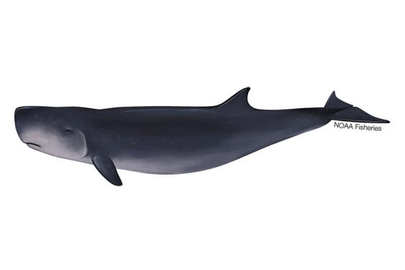640x427-Whale_Dwarf_Sperm02.jpg.jpg