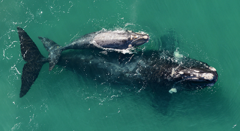 720x395-RightWhaleandCalf-SWFSC.png