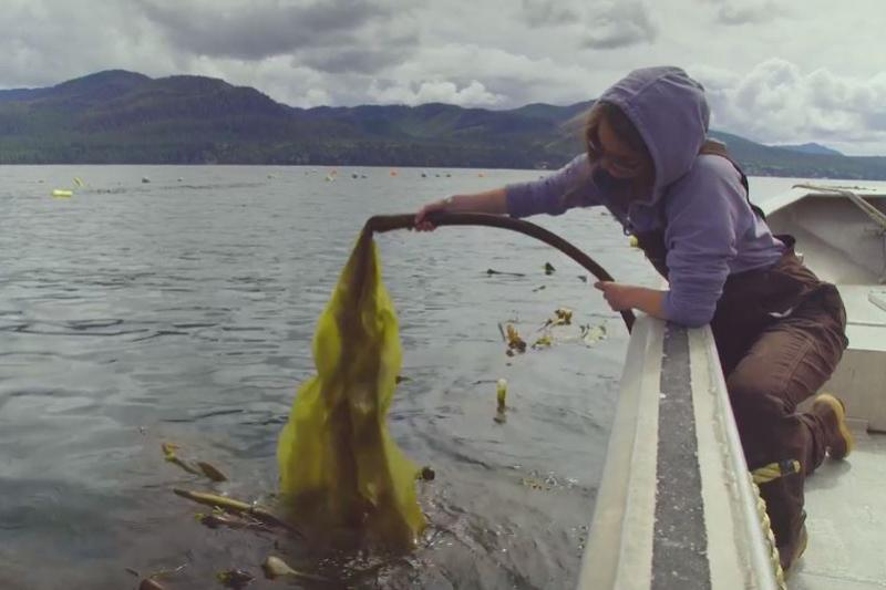 A seaweed farmer on a boat pulls long strands of bull kelp out of the water.