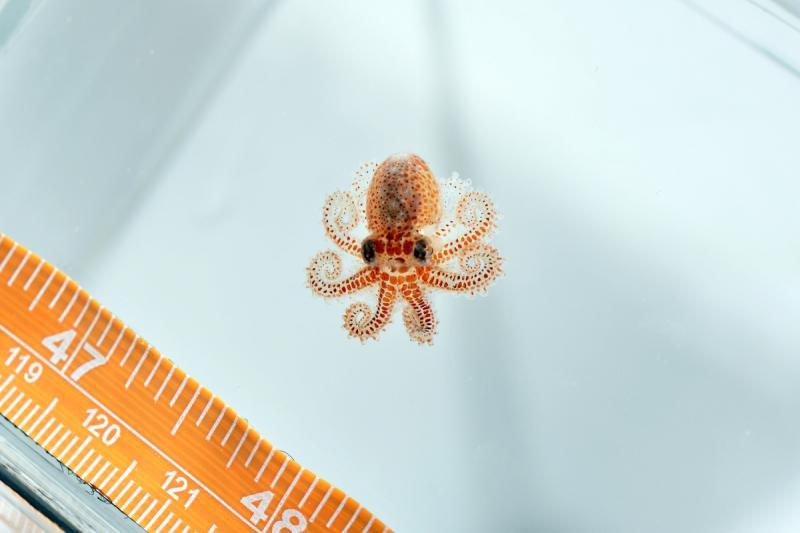 750x500-baby-octopus.jpg