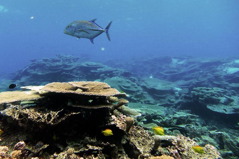 750x500-blue-trevally-pacific-remote-islands-mnm-NOAA-PIFSC.jpg