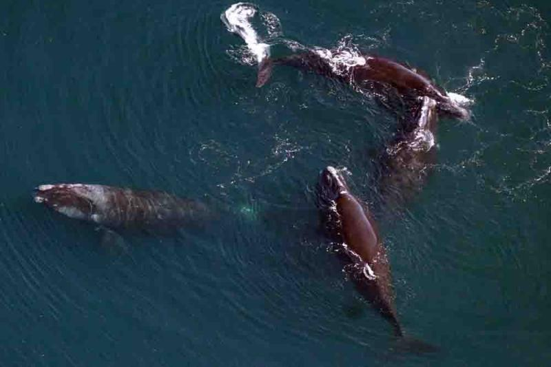 Group  of 4 North Atlantic right whales.