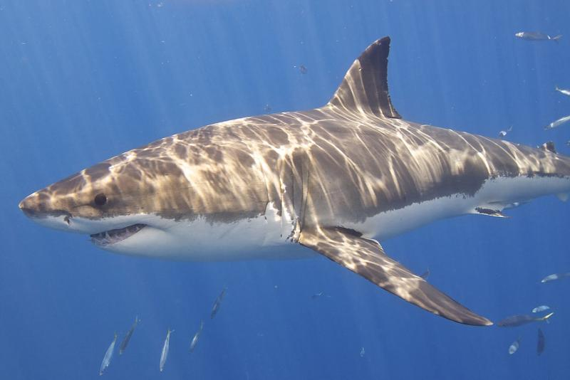 750x500-great-white-shark-Elias Levy-CC-by-2.0.jpg