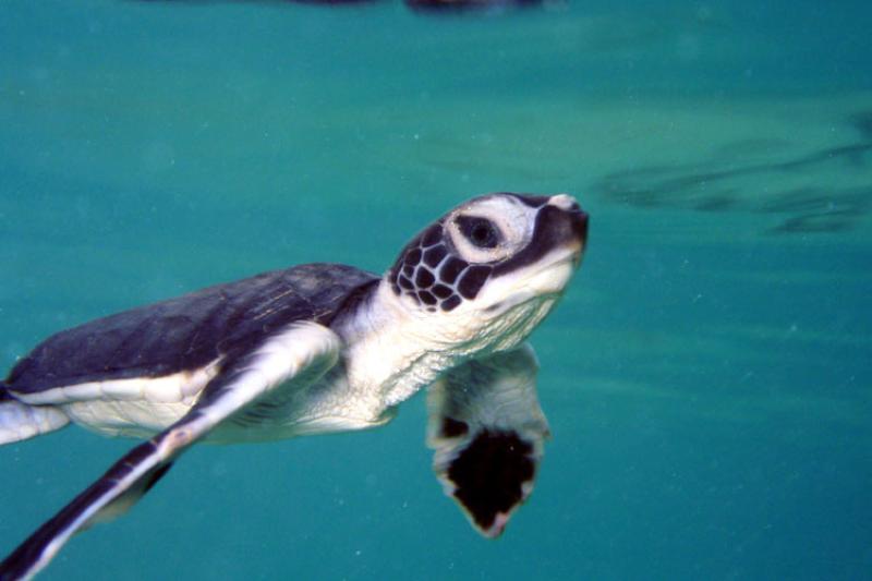 750x500-Green-sea-turtle-hatchling082707-Mark-SullivanNOAA.jpg