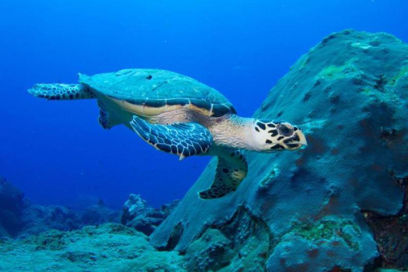 750x500-hawksbill-turtle-noaa.jpg