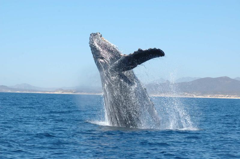 750x500-humpback-whale-breaching-nmmlweb.jpg