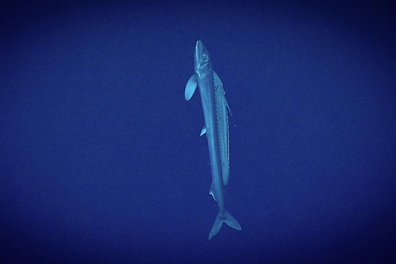 750x500-lancetfish-in-deep-waters-NOAA-ship-okeanos-explorer.jpg