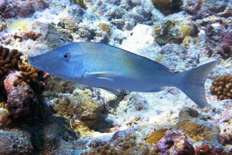 750x500-longface-emperor-fish.jpg