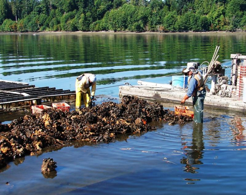 Shellfish farmers harvest mussels.