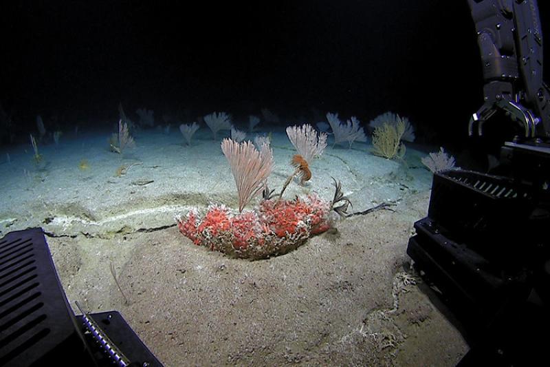 Precious red coral underwater.
